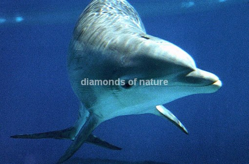 Delphin / Dolphin / Tursiops