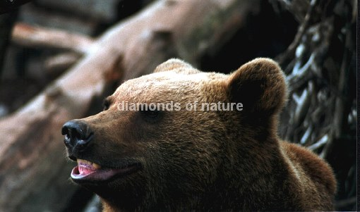 Braunbär / Brown bear / Ursus arctos