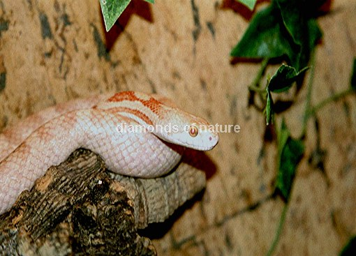 Erdnatter / Earthsnake / Pantherophis obsoletus obsoletus