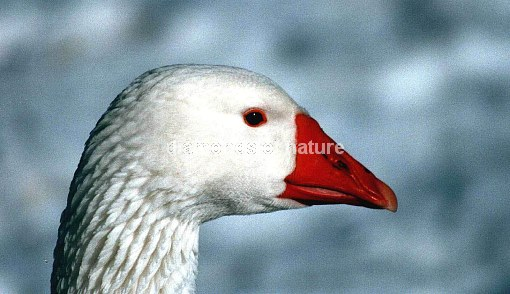Hausgans / Domestic Goose / Anser anser f. domesticus
