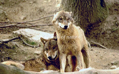 Wolf / Wolf / Canis lupus