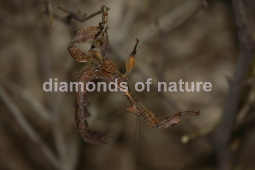Gespenstheuschrecke / Macleay´s Spectre or Giant Prickly Stick Insect / Extatosoma tiaratum
