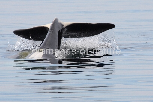 Schwertwal - Orca / Killer whale / Orcinus orca